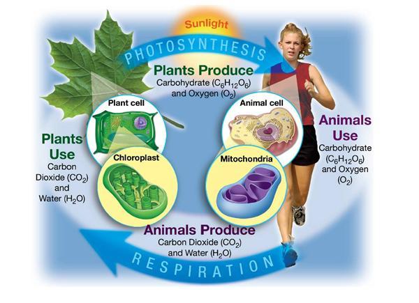 Howland, Karen / Unit 4: Bioenergetics
